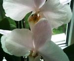 Orhideele mele