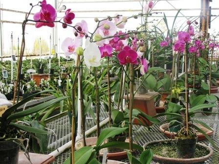 orhidee-3